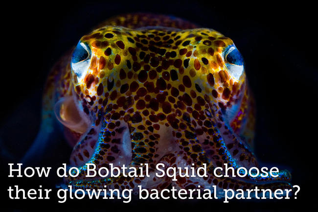 <br><a target='_blank' href='https://experiment.com/projects/how-do-bobtail-squid-choose-their-glowing-bacterial-partner?s=discover'>https://experiment.com/projects/how-do-bobtail-squid-choose-their-glowing-bacterial-partner?s=discover</a>
